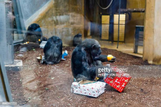 Chimpanzees unwrap their gift boxes filled with fruit they were given by their keepers in their enclosure at the zoo in Hanover northern Germany on...