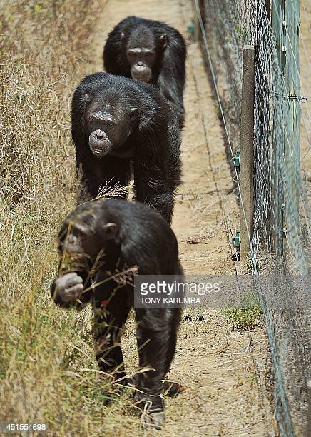 Chimpanzees walk in their enclosure at the OlPejeta conservancy in Laikipia county on July 1 2014 at a centre for rescued primates from illegal...