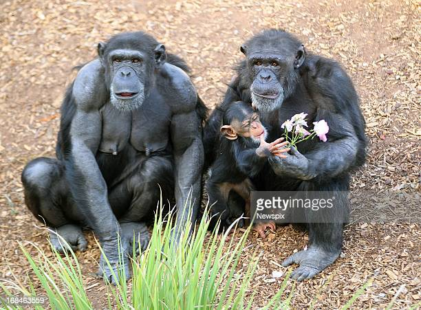 Chimpanzees 'Zombi' and her baby 'Zuri' and Zuri's uncle 'Gombe' enjoys flowers put in the enclosure as a Mother's Day enrichment at Monarto Zoo in...