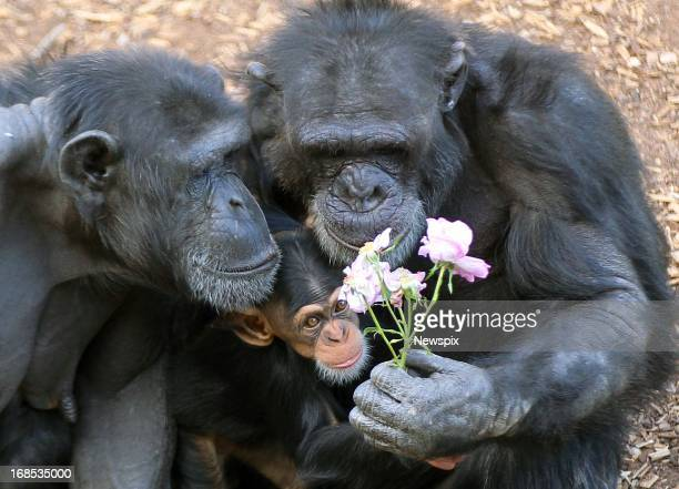 Chimpanzees Zombi and her baby Zuri and Zuri's uncle Gombe enjoys flowers put in the enclosure as a Mother's Day enrichment at Monarto Zoo in Monarto...