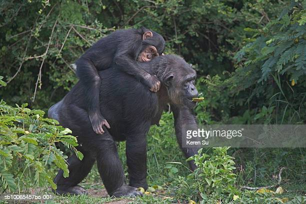 Chimpazee mother carrying baby