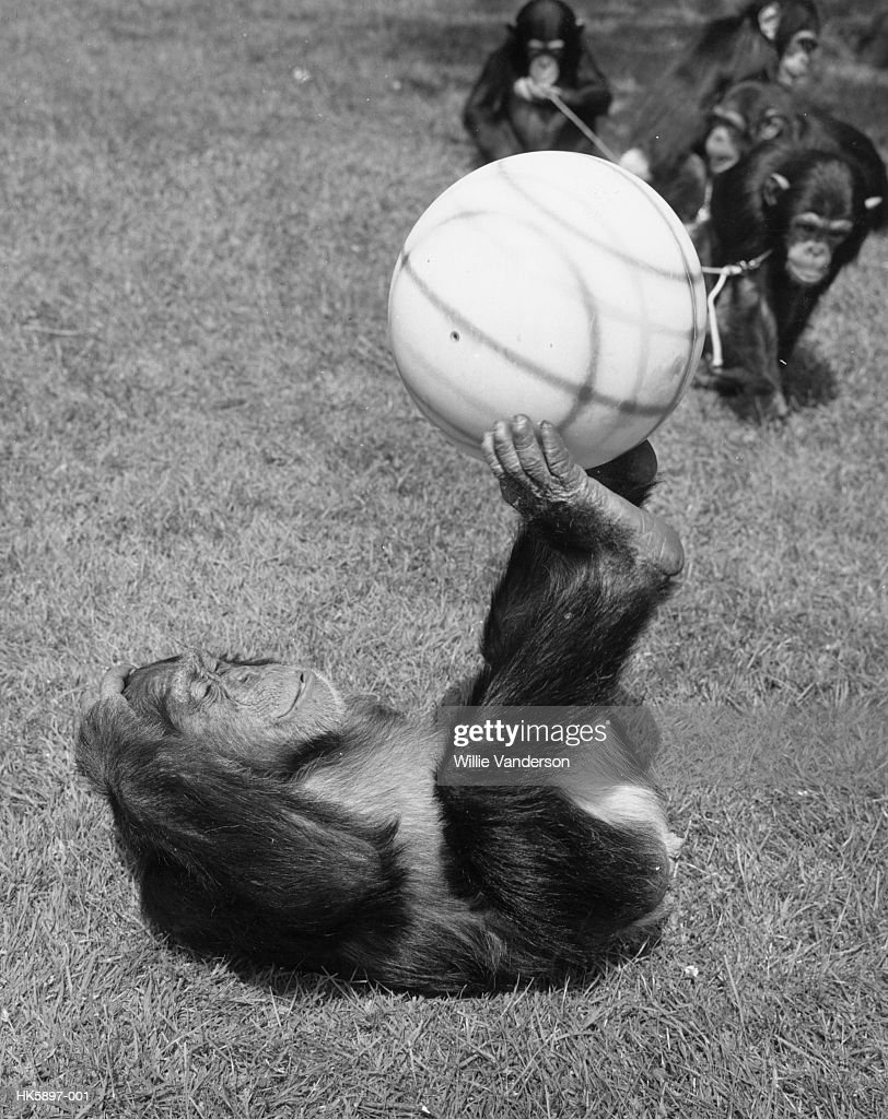 Josie, a chimpanzee at London Zoo demonstrates her ball control during a game of football.