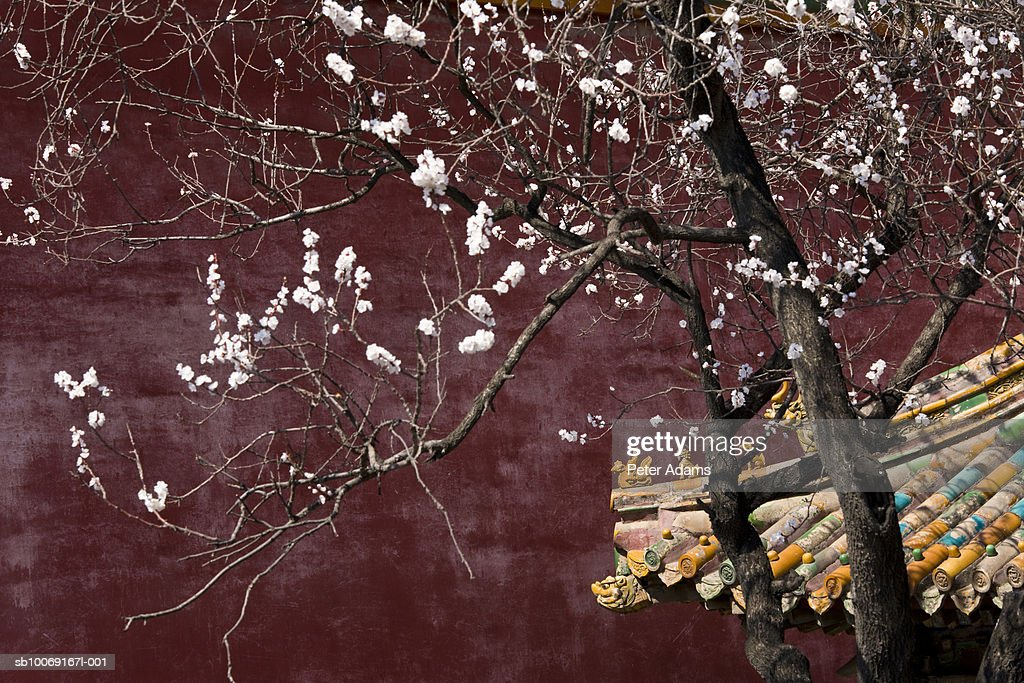 China, Beijing, Forbidden City, Cherry blossom : Stockfoto