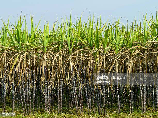 China, Guilin, sugarcane field against sky