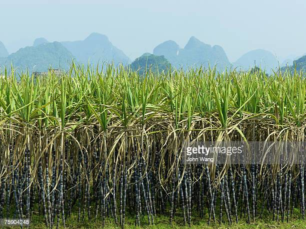 China, Guilin, sugarcane field with mountains in background