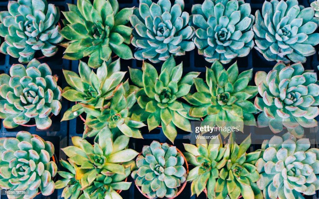 China, Hong Kong, succulents at the flower market : Stock Photo