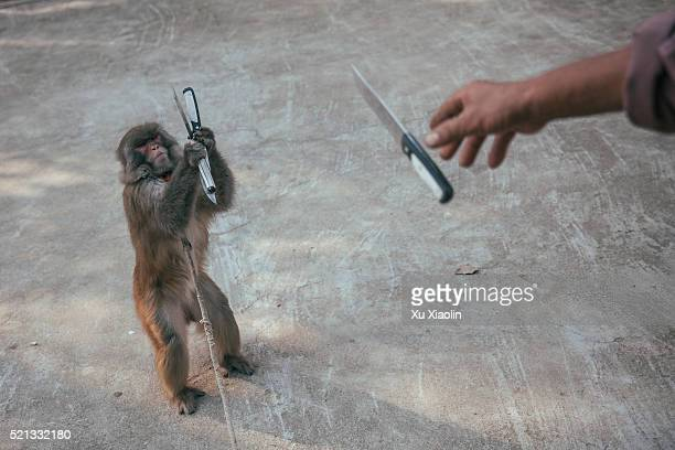 china monkey trainer - animal welfare stock pictures, royalty-free photos & images