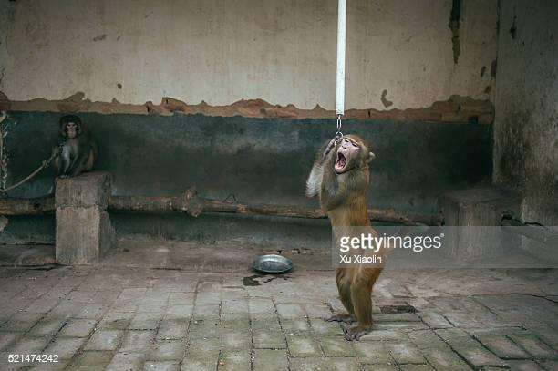 china monkey trainer - sfruttamento degli animali foto e immagini stock