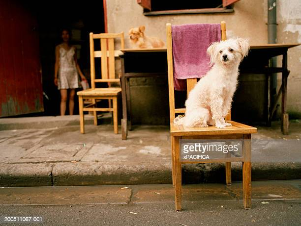 China, Shanghai, poodle on chair in middle of street