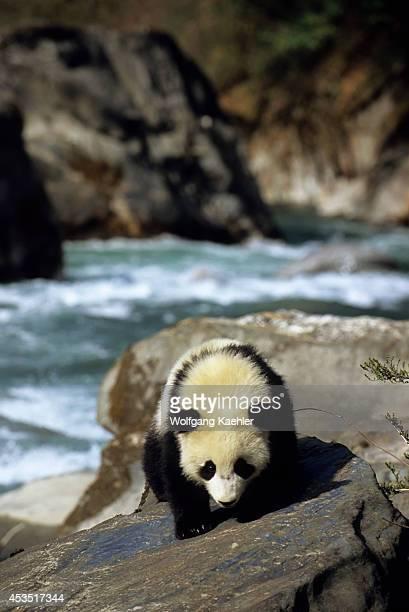 China Sichuan Province Wolong Panda Reserve Giant Panda Cub 6 Months Old Creek