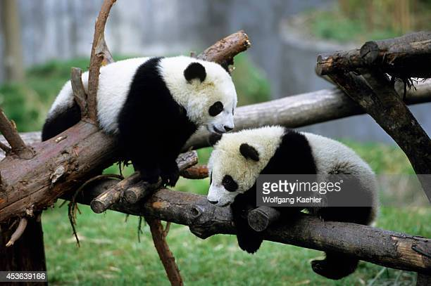 China Sichuan Province Wolong Panda Reserve Giant Panda Cubs 6 Months Old Playing