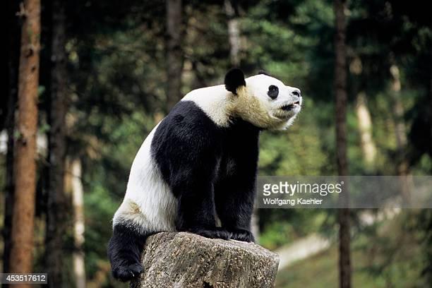 China Sichuan Province Wolong Panda Reserve Giant Panda On Tree Stump