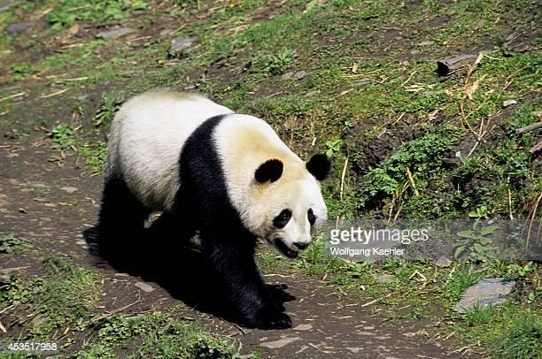 China Sichuan Province Wolong Panda Reserve Giant Panda Walking
