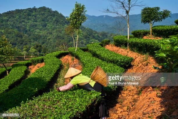 china, yunnan, pu'er district, tea field, tea picker picking tea leaves - yunnan stockfoto's en -beelden