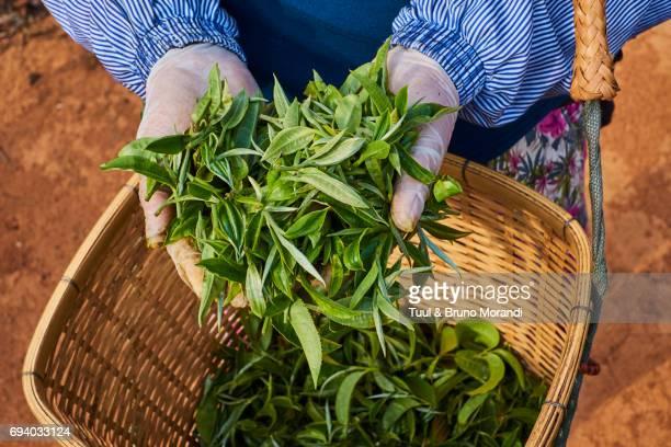 china, yunnan, xishuangbanna district, tea tree, tea picker picking tea leaves - provinz yunnan stock-fotos und bilder