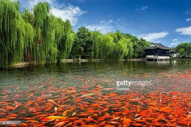 China, Zhouzhuang, Pool full of Koi fish by monastery