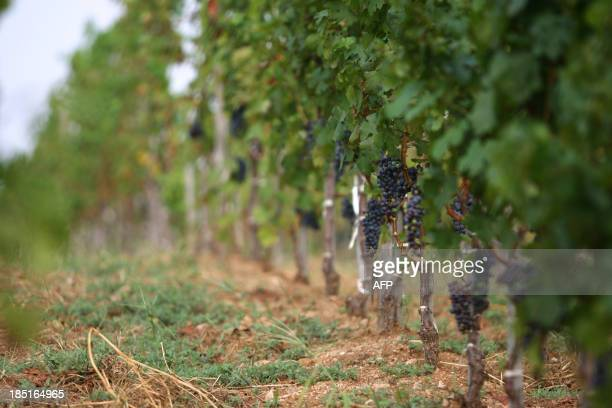 WITH ChinaFranceagriculturewineFEATURE BY This picture taken on August 29 2013 shows grapes growing in a vineyard owned by France's Domaine Barons de...