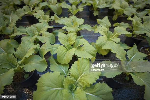 Chinakohl cabbage grows inside a greenhouse at the Bayer CropScience AG processing facility in Monheim Germany on Wednesday March 21 2018 Bayer...