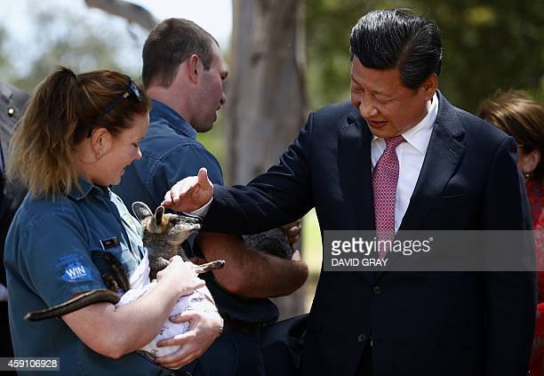 Chinas President Xi Jinping pets a swamp wallaby held by Renne Osterloh in the grounds of Government House in Canberra on November 17 2014 Xi is...