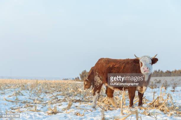 china's rural farm cattle - harbin winter stock pictures, royalty-free photos & images