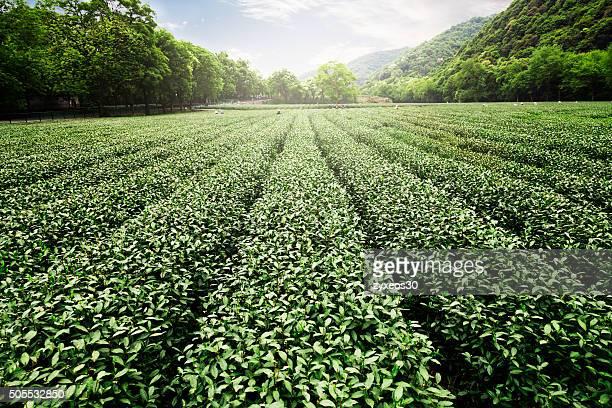 China's tea garden
