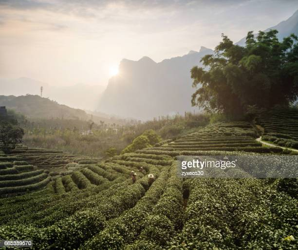 China's zhejiang province tea garden,China - East Asia,