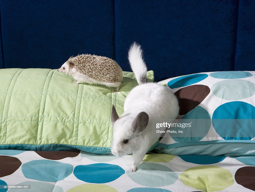 Chinchilla and hedgehog on bed : Stockfoto