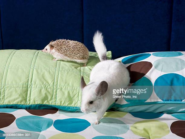 Chinchilla and hedgehog on bed