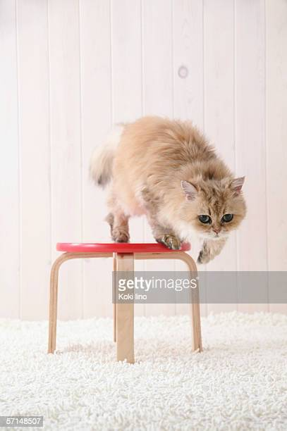 chinchilla cat standing on a chair - persian cat stock pictures, royalty-free photos & images