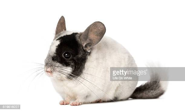 Chinchilla, isolated on a white background