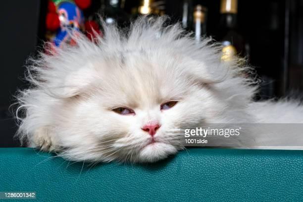 chinchilla kitten, scottish fold longhair, white kitten sleeping on the bar - persian cat stock pictures, royalty-free photos & images