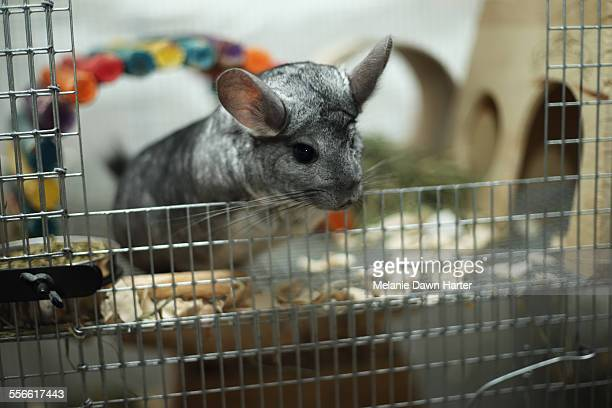 Chinchilla looking out of cage