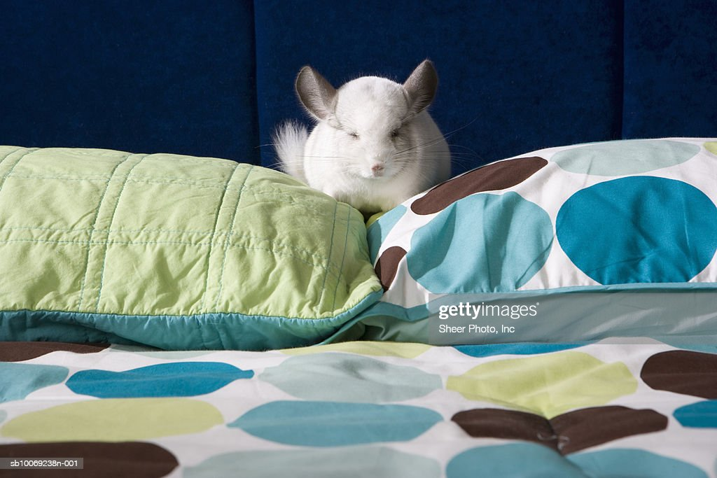 Chinchilla napping on pillow : Stockfoto