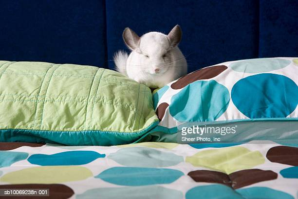 Chinchilla napping on pillow