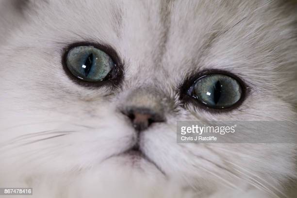 Chinchilla Persian Emporium Starlight is pictured in her cage during the Supreme Cat Show on October 28 2017 in Birmingham England The oneday Supreme...
