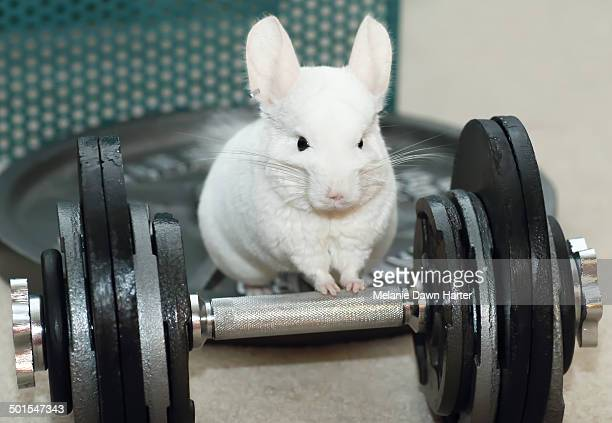 Chinchilla with dumbbell