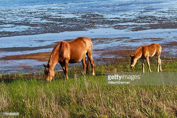 Chincoteague Pony With Foal Close Behind