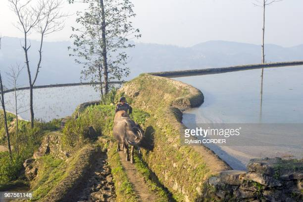 Chine province du Yunnan ethnie des Hani Yuanyang village de Malizai rizieres en terrasses un paysan revient du travail avec son buffle China Yunnan...