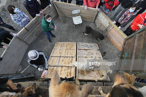 Chinese animal lovers release the rescued dogs at the China Animal Protection Association after a convoy of trucks carrying some 500 dogs to be sold...