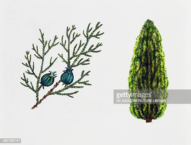 Chinese arborvitae Biota or Oriental thuja Cupressaceae tree leaves and fruits illustration