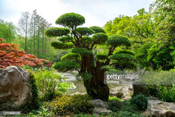 chinese bonsai tree in a public garden - shanghai stock pictures, royalty-free photos & images