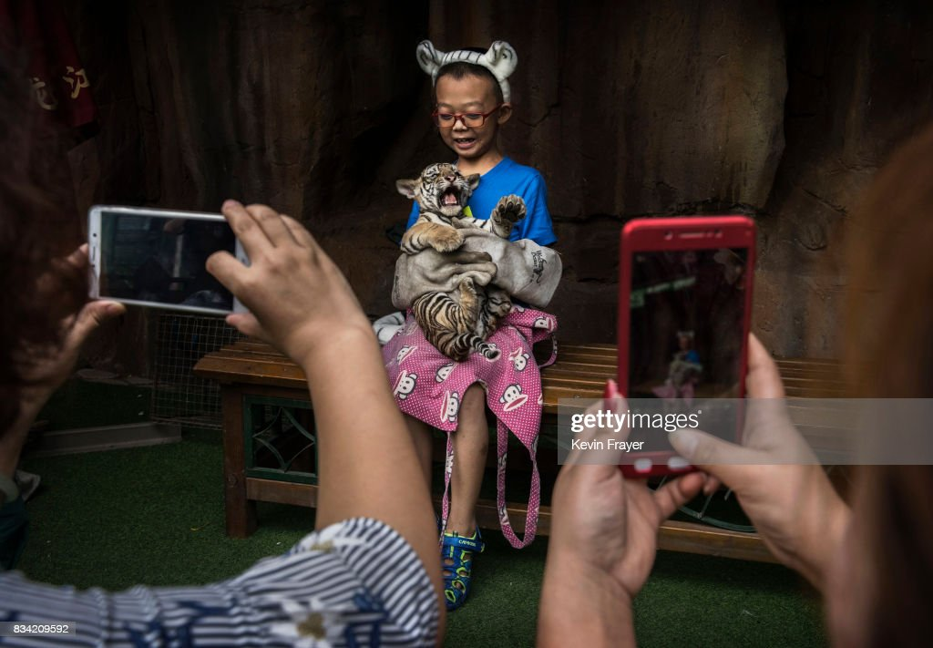 A Chinese boy wears protective gloves as he holds a baby Siberian tiger as they pose for pictures at the Heilongjiang Siberian Tiger Park on August 16, 2017 in Harbin, northern China. The center is one of two Siberian tiger parks in the Chinese province of Heilongjiang, about 500 kilometers (300 miles) from the border with Russia. It is considered the world's largest for breeding the Siberian, or Amur, tiger which is listed as endangered by the World Wildlife Federation. As many as 540 are known to exist. The Harbin center opened in 1986 and claims an 80-percent survival rate among the 100 or so cubs born in captivity every year, though a government plan reveals it could be another decade before the program actually releases a tiger to the wild. In 1996, it opened to the public as a commercial park allowing tourists on safari buses to view its 600 tigers in an open range area meant to simulate their natural habitat. Customers pay extra to throw live chickens or ducks to the tigers to eat, or to hold a tiger cub. Critics regard the park as a large-scale breeding farm, where tigers are kept in unnatural conditions and unable to hunt to survive. Despite a longstanding government directive, some facilities in China have been accused of trading products made from tiger parts, including 'wine' made by soaking tiger bones in alcohol. The park divides the tigers among different areas in the park according to age and seniority, and cubs begin 'wilderness training' when they are three to four months old. Wildlife experts say inbreeding and natural habitat destruction pose the greatest risk to the Siberian or Amur tiger subspecies.