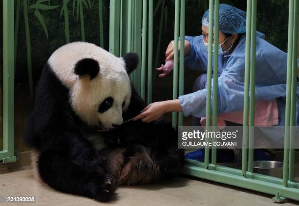 """Chinese caretaker grabs a cub after the female panda Huan Huan, which means """"Happy"""" in Chinese, gave birth at Beauval Zoo in Saint-Aignan-sur-Cher,..."""