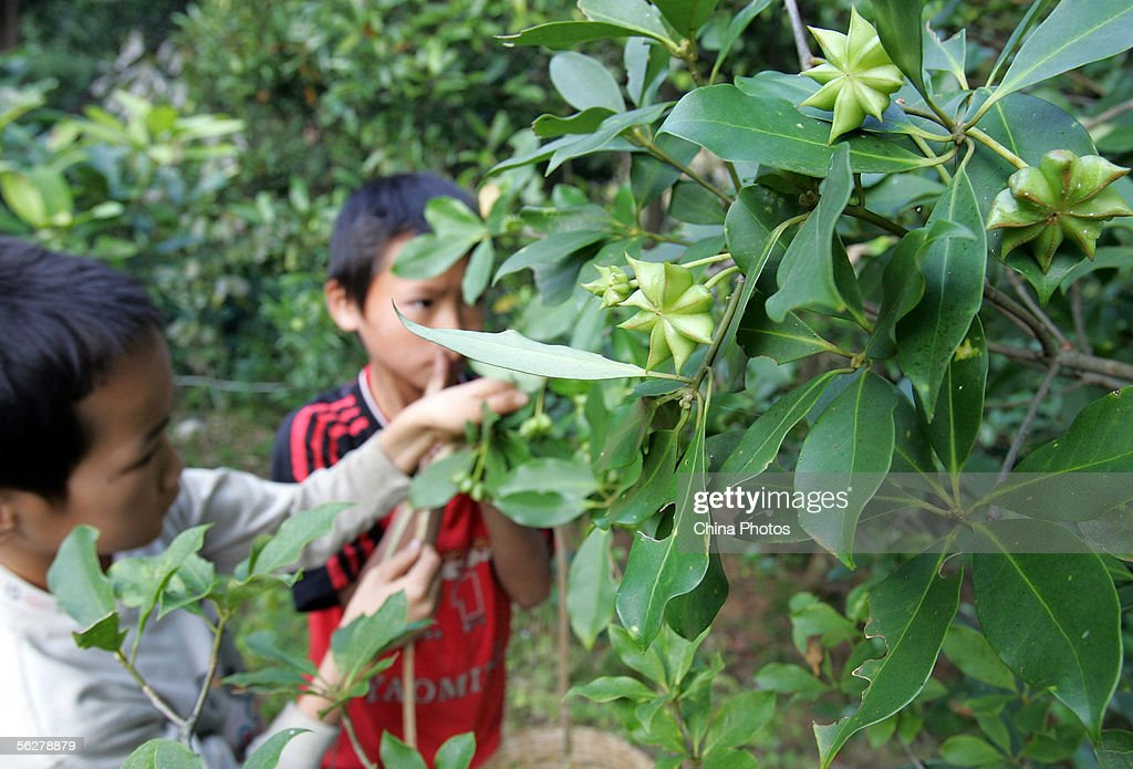 Chinese Fruit Star Anise Becomes Secret Weapon Against Bird Flu : News Photo