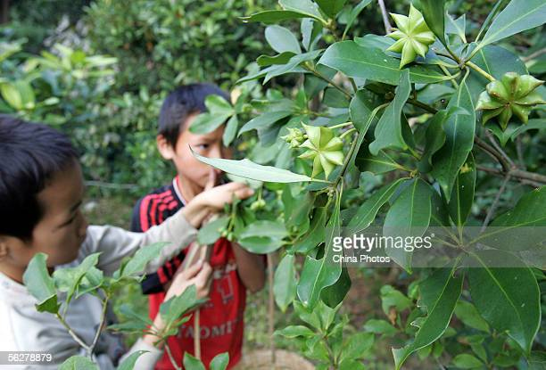 Chinese children harvest star anise seeds at Tanbin Township on November 26 2005 in Luoding of Guangdong Province China Tamiflu which made by Swiss...