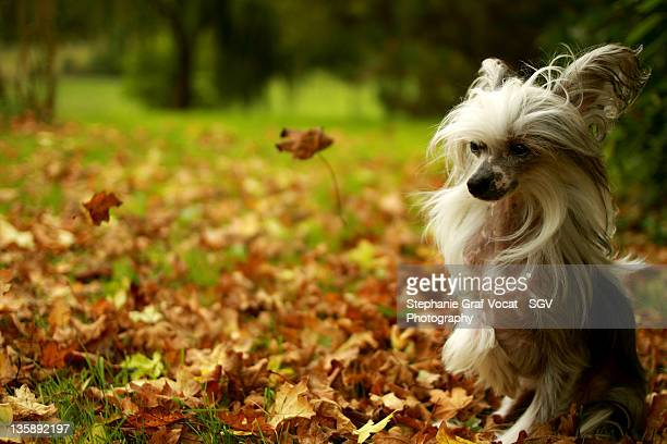 chinese crested dog among leaves - chinese crested dog stock photos and pictures