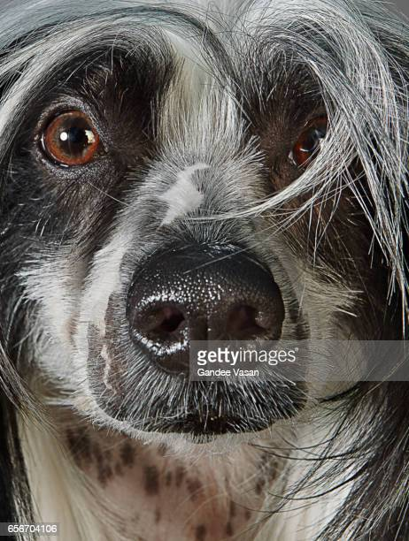 Chinese Crested Dog Closeup