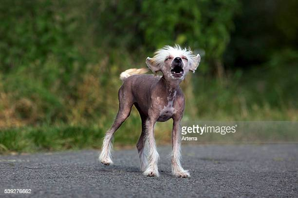 Chinese crested dog hairless breed from China