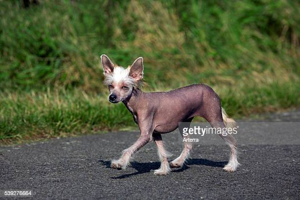 Chinese crested dog, hairless breed from China.