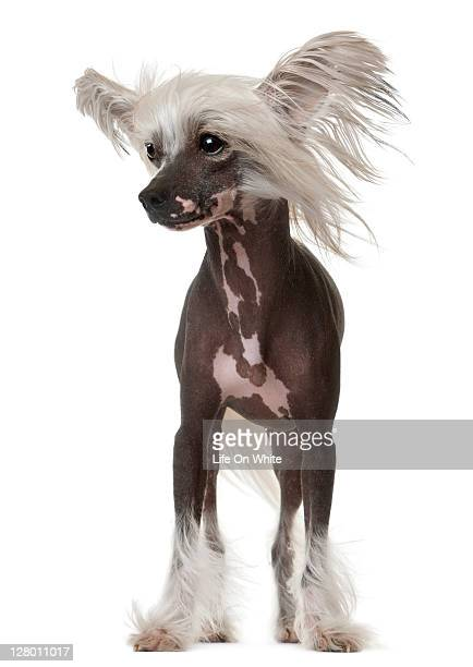 chinese crested dog - hairless - chinese crested dog stock photos and pictures